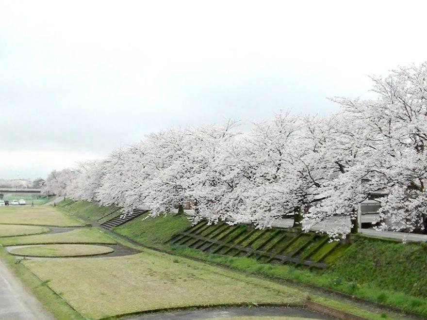 ふくみつ千本桜(小矢部川河川公園)(富山) | 2019年夜桜ライトアップ・見頃情報