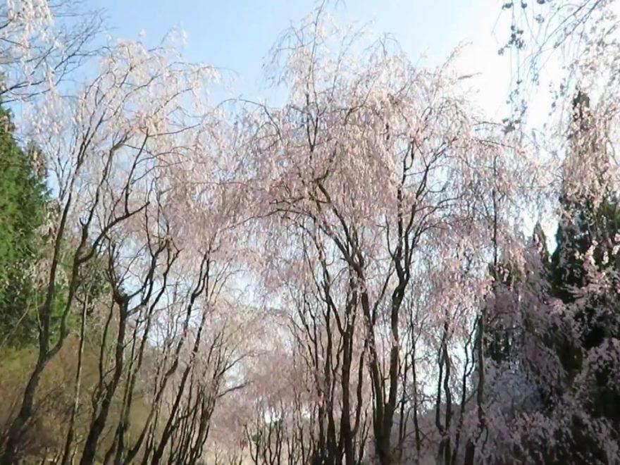 世羅 甲山ふれあいの里(広島) | 2019年夜桜ライトアップ・見頃情報