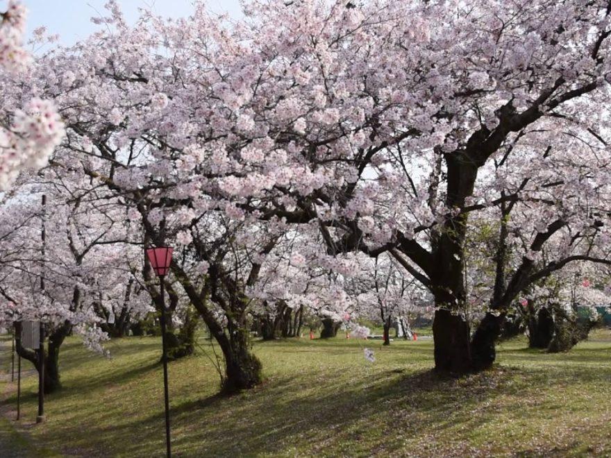 すすきヶ原入野公園 桜画像