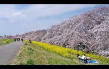 熊谷桜堤(埼玉) | 2019年夜桜ライトアップ・見頃情報
