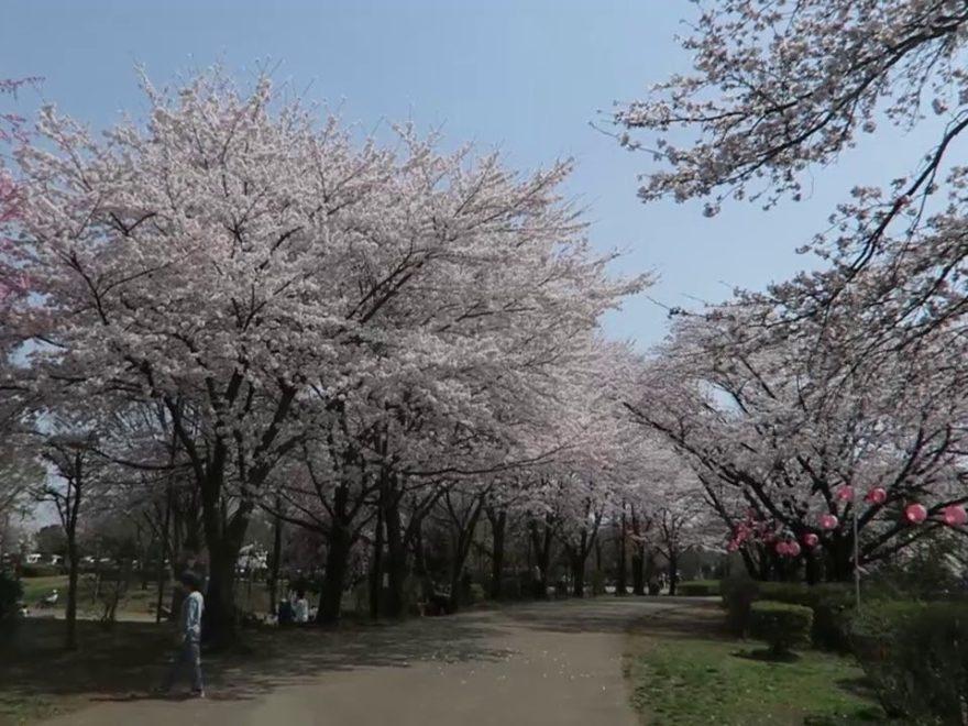 鶴ヶ島市運動公園(埼玉) | 2019年夜桜ライトアップ・見頃情報