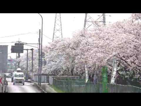 吉川市さくら通り(埼玉) | 2019年夜桜ライトアップ・見頃情報