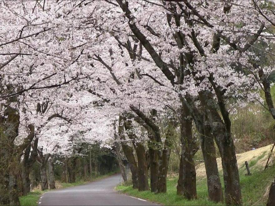 太平山県立自然公園(栃木) | 2019年夜桜ライトアップ・見頃情報
