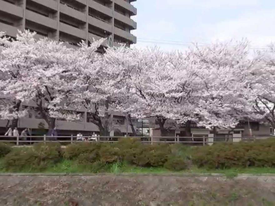鳥取城跡桜画像