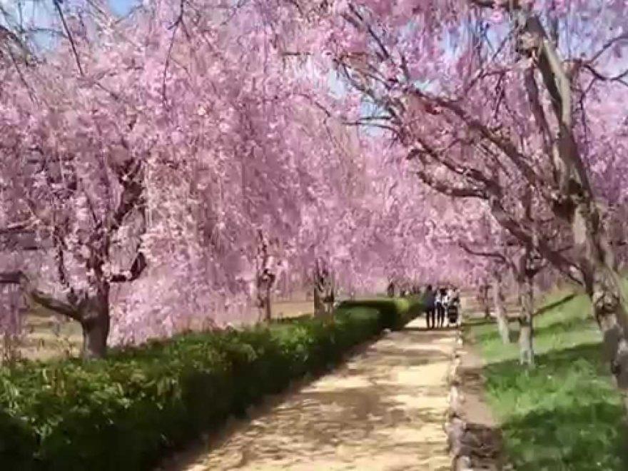 常陸風土記の丘(茨城) | 2019年夜桜ライトアップ・見頃情報