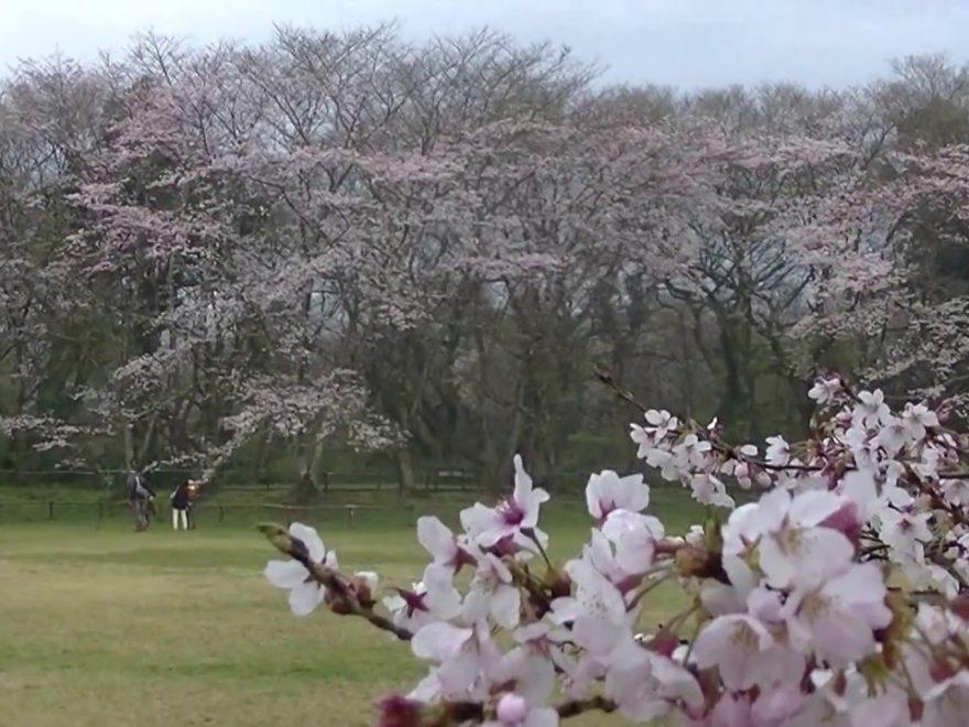 佐倉城址公園(千葉) | 2019年夜桜ライトアップ・見頃情報