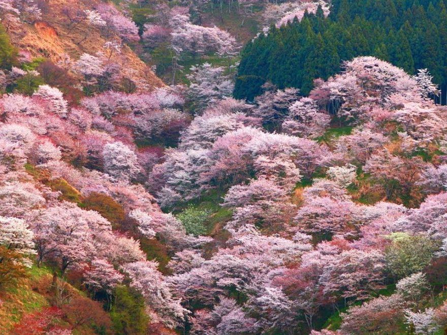 吉野山 下千本・中千本・上千本(奈良) | 2019年夜桜ライトアップ・見頃情報