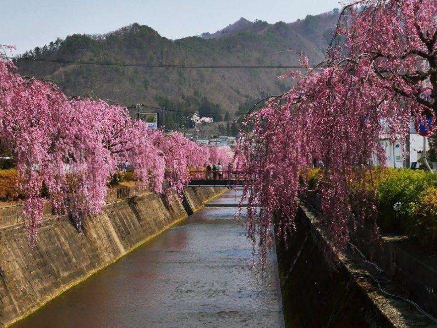 倉津川のしだれ桜(山形) | 2019年夜桜ライトアップ・見頃情報