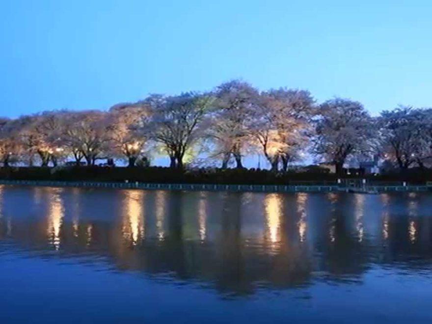 鹿の川沼(かのかわぬま)(群馬) | 2019年夜桜ライトアップ・見頃情報