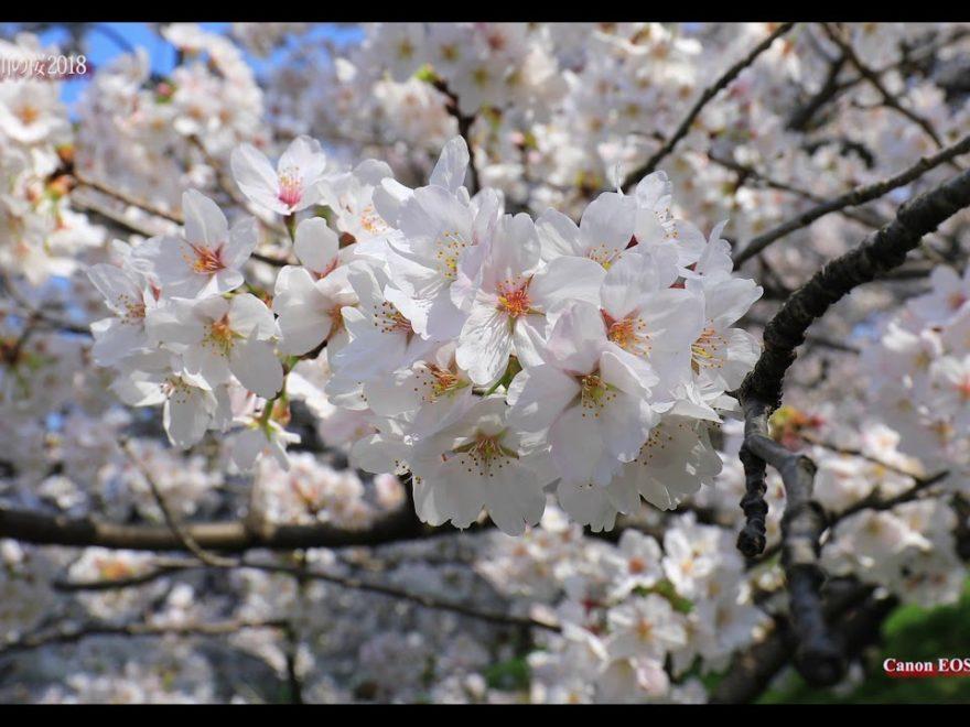 北越谷元荒川堤(埼玉) | 2019年夜桜ライトアップ・見頃情報