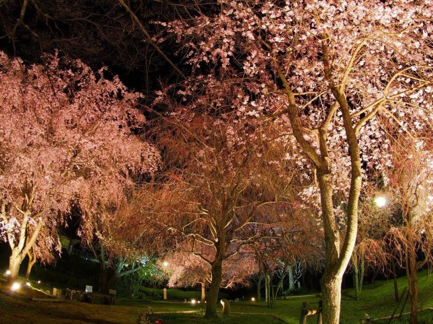 真鶴町 荒井城址公園(神奈川) | 2019年夜桜ライトアップ・見頃情報