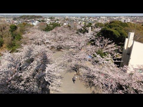 木更津市 太田山公園(千葉) | 2019年夜桜ライトアップ・見頃情報
