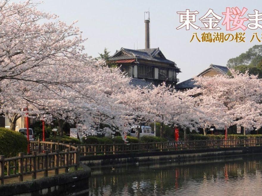 八鶴湖(千葉) | 2019年夜桜ライトアップ・見頃情報