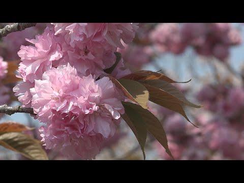静峰ふるさと公園(茨城) | 2019年夜桜ライトアップ・見頃情報