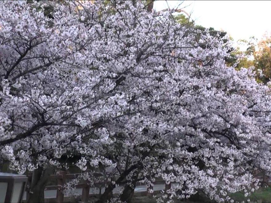 岸和田城(大阪) | 2019年夜桜ライトアップ・見頃情報