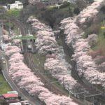 【中止】山中渓(やまなかだに)(大阪) | 2021年桜祭り・夜桜ライトアップ・見頃情報