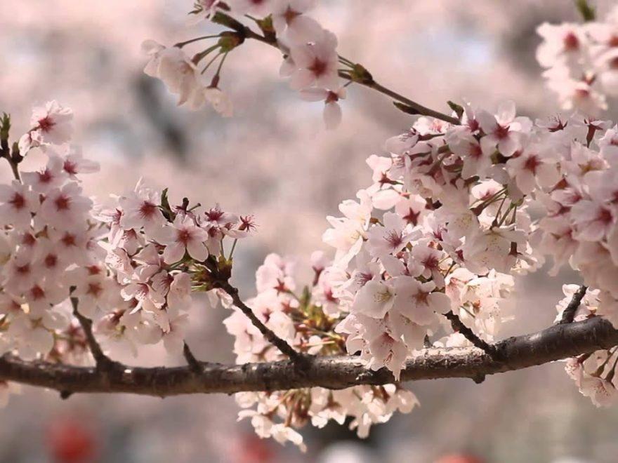 松山城(愛媛) | 2019年夜桜ライトアップ・見頃情報