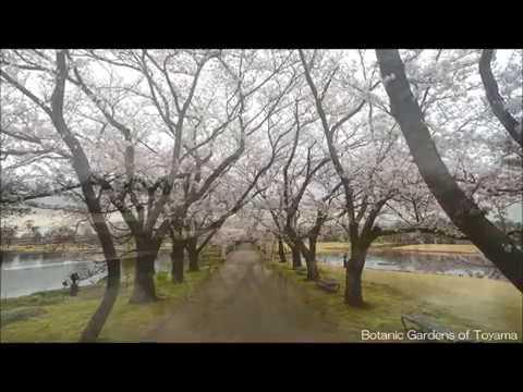富山県中央植物園(富山) | 2019年夜桜ライトアップ・見頃情報