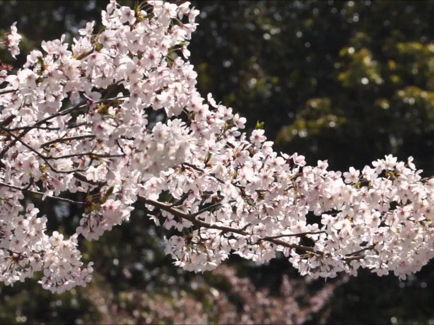 栗林公園(香川) | 2019年夜桜ライトアップ・見頃情報