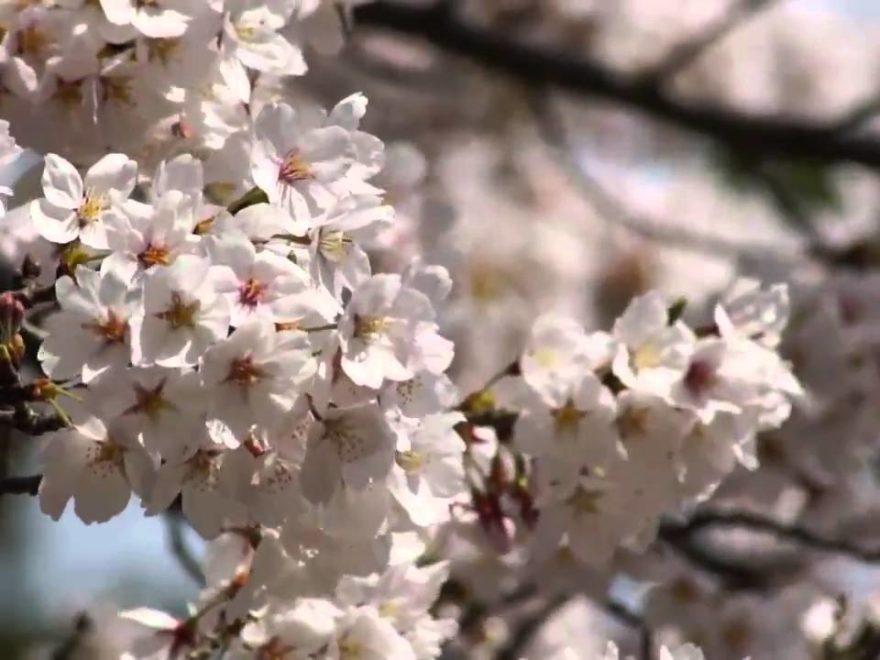 松江城山公園(島根) | 2019年夜桜ライトアップ・見頃情報