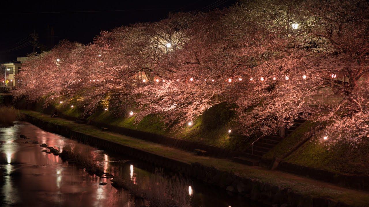 中止】厚狭川(山口県美祢市)   2020年桜祭り・夜桜ライトアップ ...