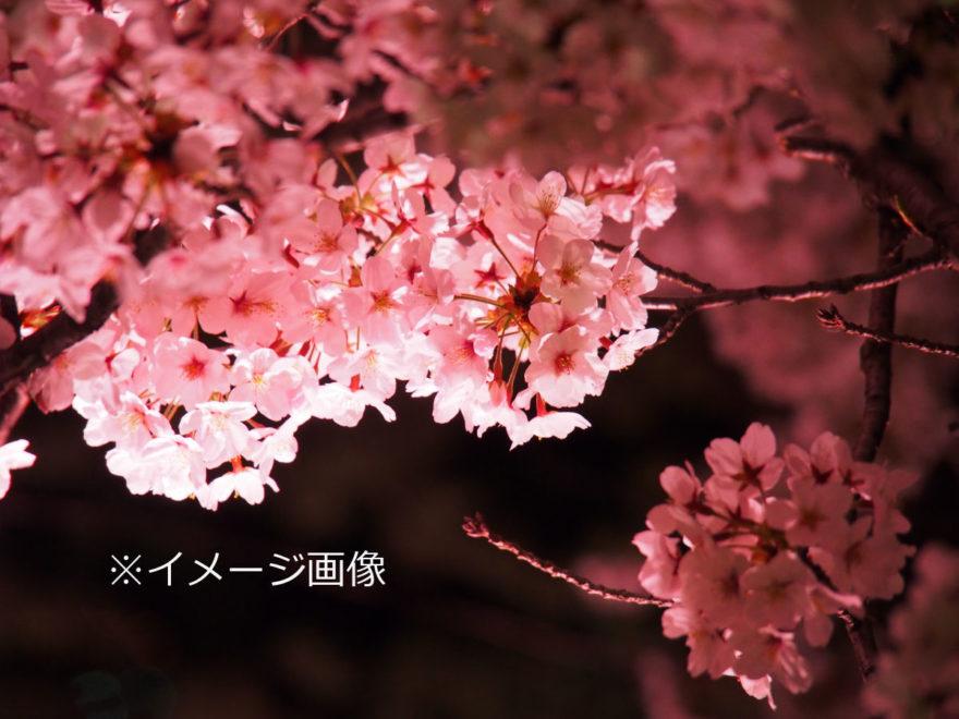夜桜ライトアップ_イメージ