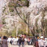 角館武家屋敷通り(秋田) | 2021年桜祭り・夜桜ライトアップ・見頃情報