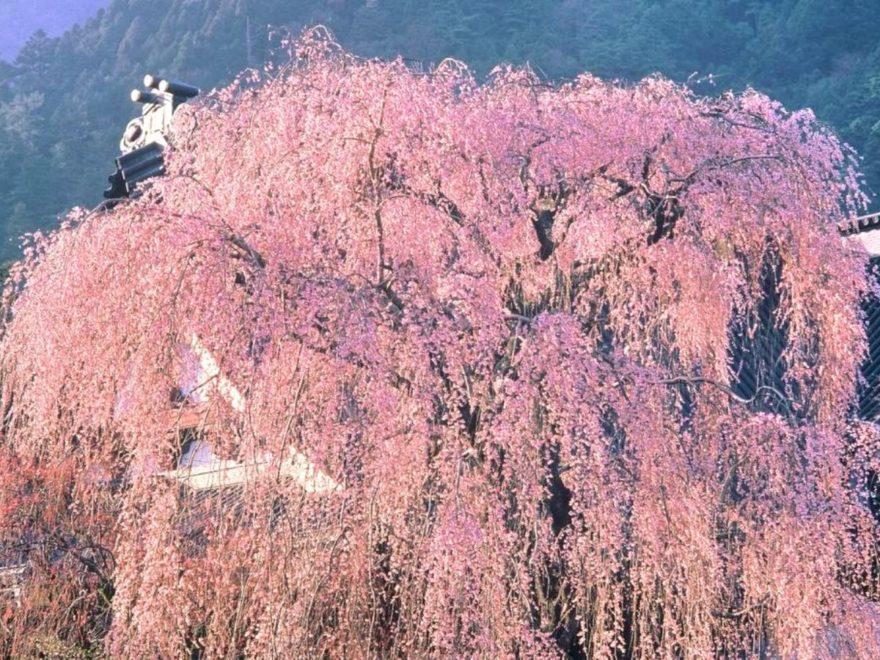 久遠寺しだれ桜