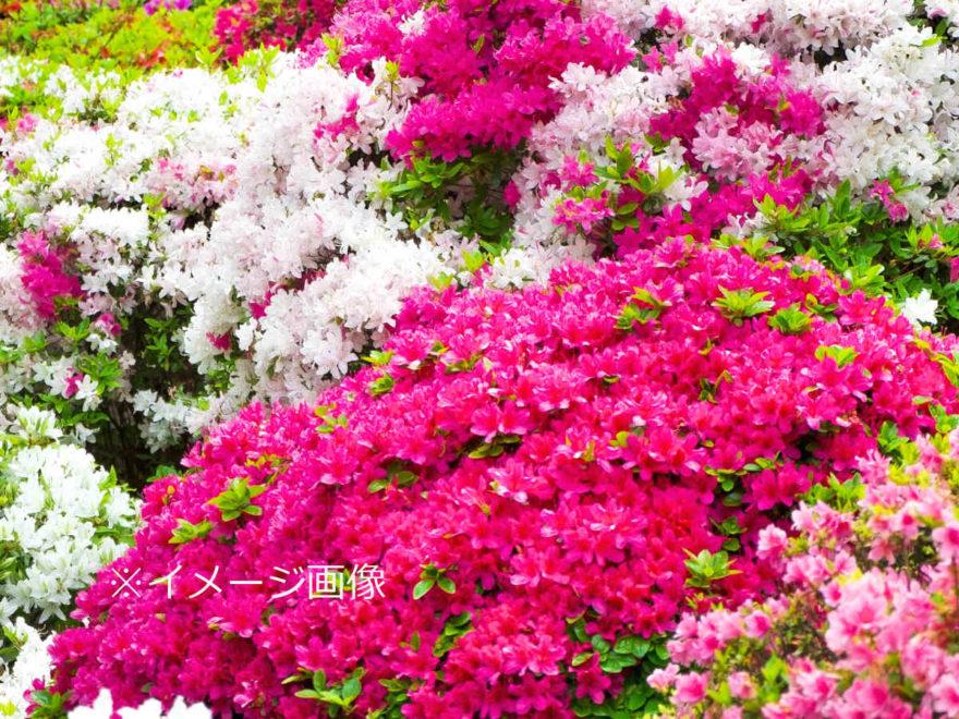 つつじ_イメージ_001