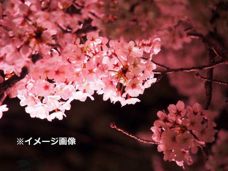 夜桜ライトアップ_image