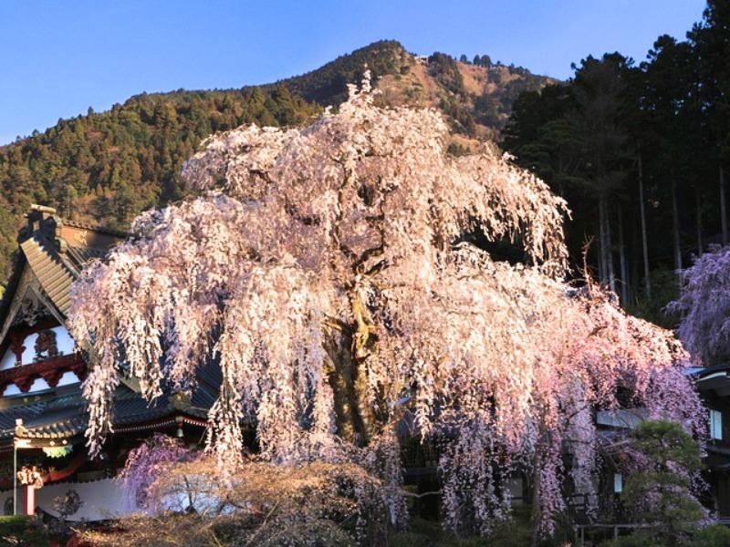 久遠寺_しだれ桜