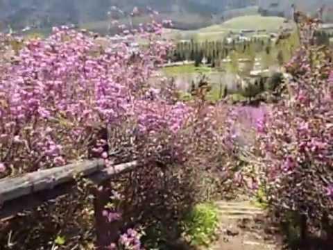 留辺蘂町(るべしべちょう) 温根湯温泉つつじ公園(北海道) | 2019年つつじ祭り・見頃情報