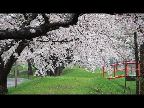 松前藩戸切地陣屋・法亀寺・大野川沿い(北海道) | 2019年夜桜ライトアップ・見頃情報