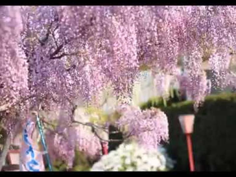 世羅ふじ園(広島) | 2019年ふじ園開園・見頃情報