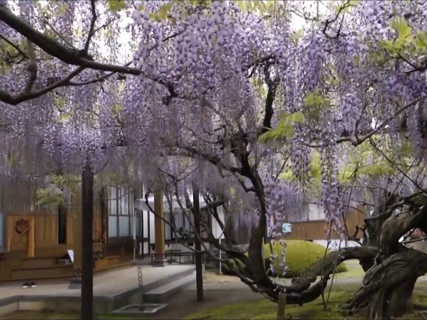 住雲寺(鳥取) | 2019年藤まつり・見頃情報