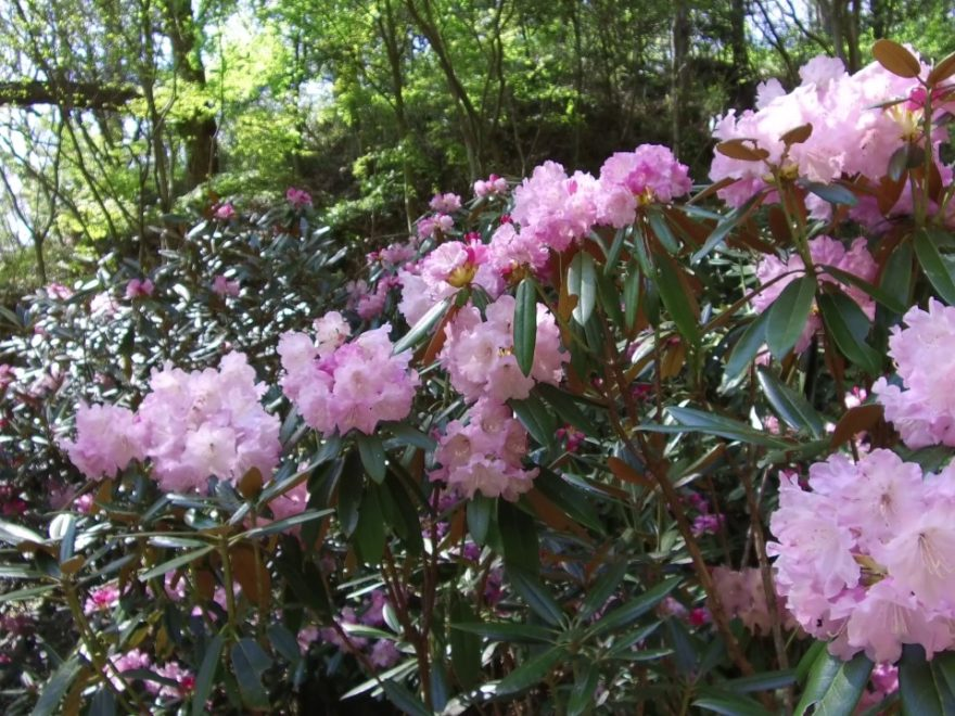 神戸市立森林植物園(兵庫) | 2019年つつじ・しゃくなげ祭り・見頃情報