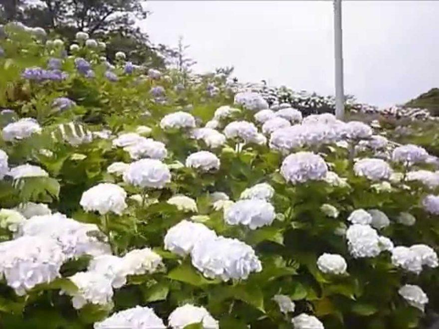 北九州市 高塔山公園ほか(福岡) | 2019年あじさい祭り・見頃情報