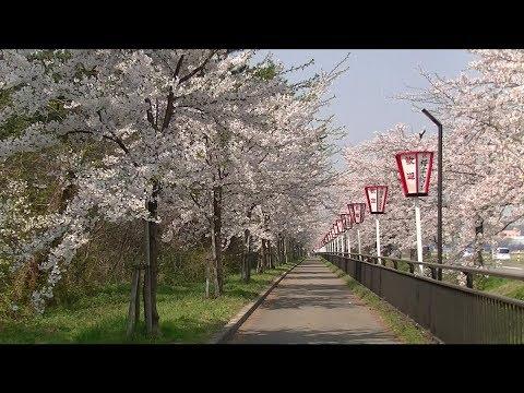 ハーブ通り・道の駅「にしめ」周辺(秋田) | 2019年桜・菜の花まつり・見頃情報画像