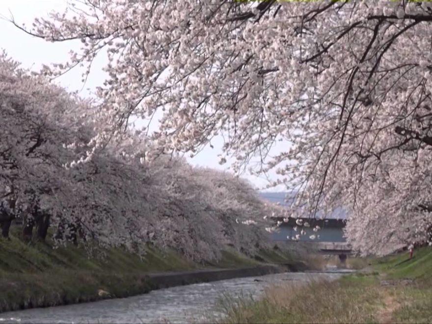 舟川べり(富山) | 2019年夜桜ライトアップ・見頃情報