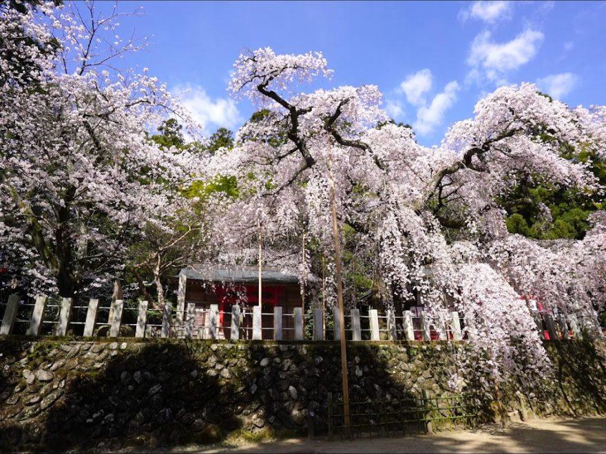 小川諏訪神社(福島) | 2019年夜桜ライトアップ・見頃情報