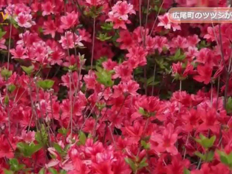 大丸山森林公園(北海道) | 2019年つつじ祭り・見頃情報