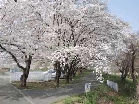 越生町 さくらの山公園(埼玉) | 2019年夜桜ライトアップ・見頃情報