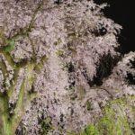 【中止】円山公園(京都) | 2021年桜祭り・夜桜ライトアップ・見頃情報