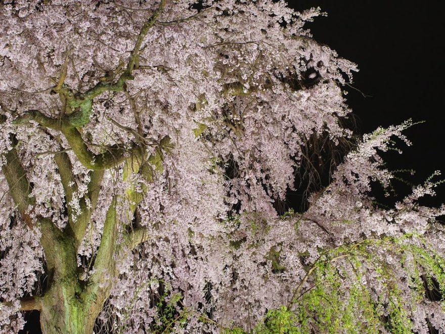円山公園(京都) | 2019年夜桜ライトアップ・見頃情報