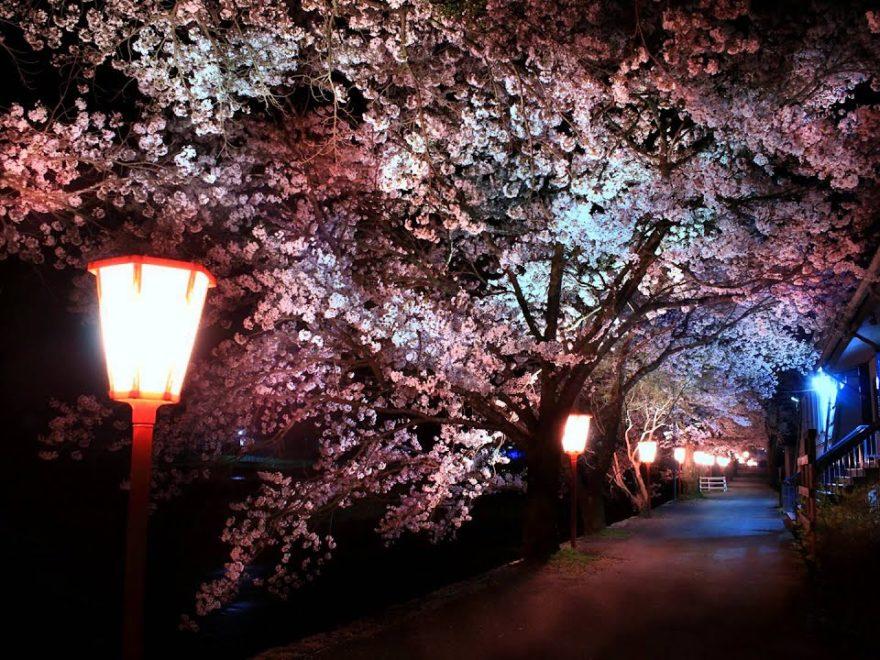 美甘宿場(岡山) | 2019年夜桜ライトアップ・見頃情報