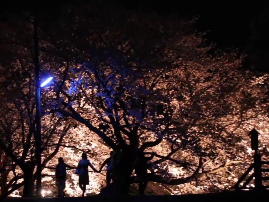 玉湯川堤(島根) | 2019年夜桜ライトアップ・見頃情報