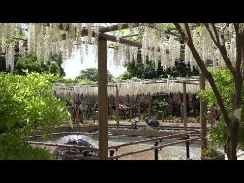 曼陀羅寺公園(愛知) | 2019年藤まつり・見頃情報