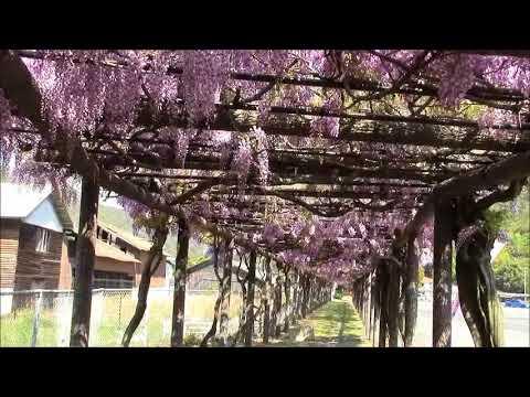 玉野市 渋川公園(岡山) | 2019年藤まつり・見頃情報