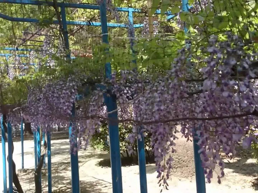 下福島公園(大阪) | 2019年のだふじまつり・見頃情報