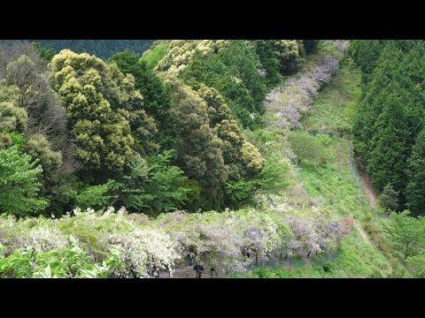 みやまの里森林公園(和歌山) | 2019年ふじまつり・見頃情報
